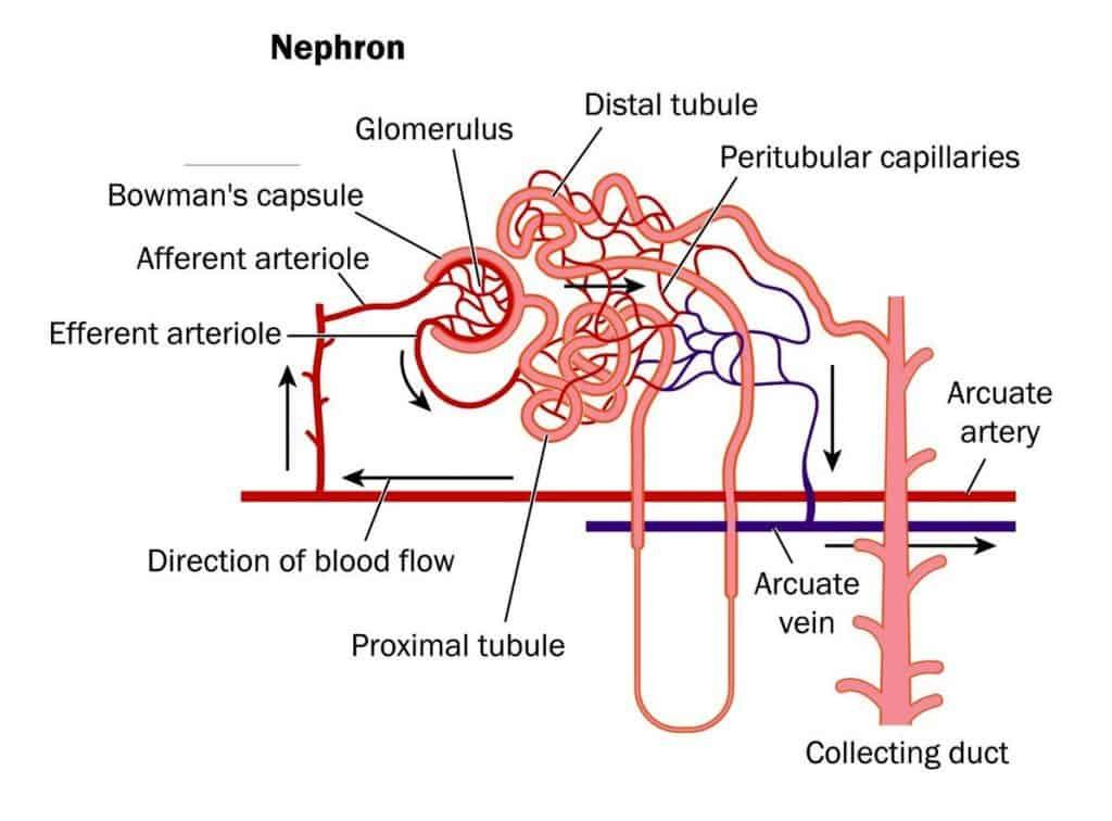 struktur ginjal manusia
