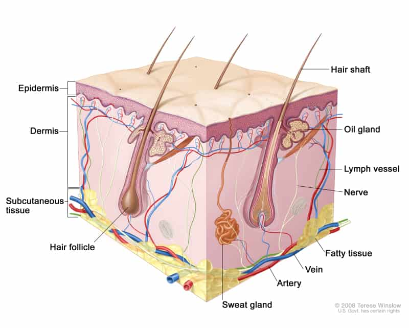struktur kulit manusia
